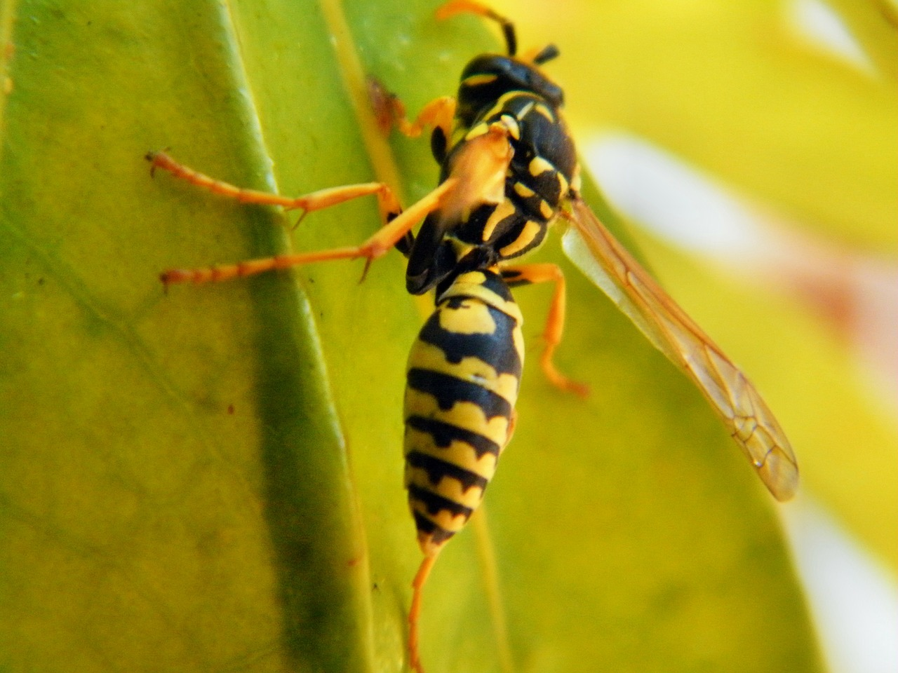 Brazilian wasp venom found to kill Cancer cells without harming healthy cells