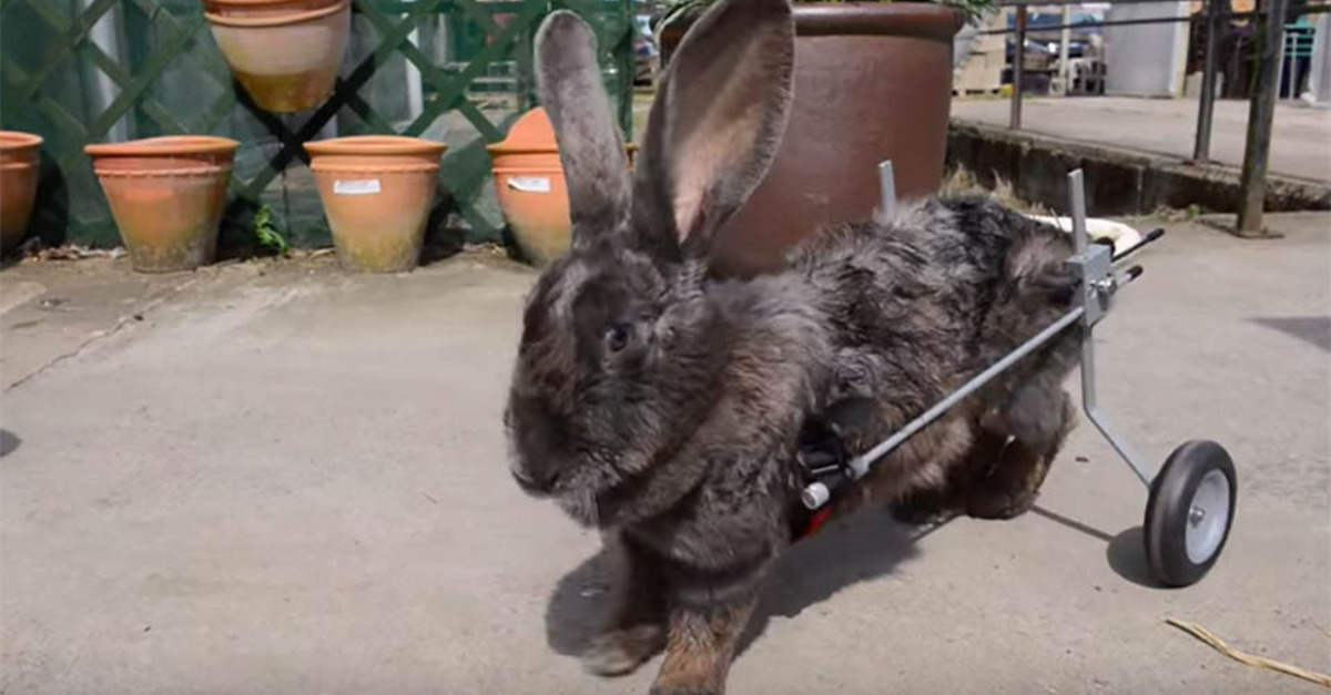 Paralysed bunny gets second chance at life with customised wheelchair