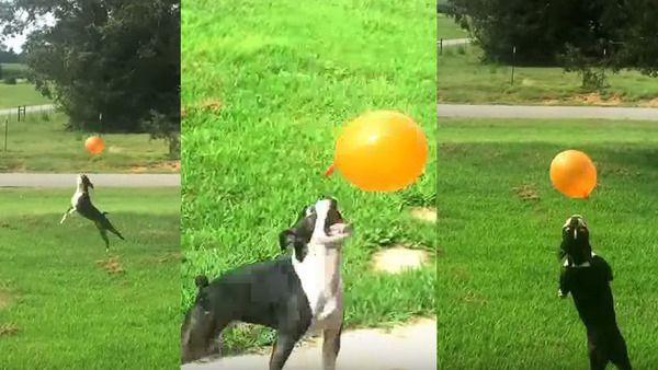 Frolicking dog's main life goal is keeping a balloon afloat