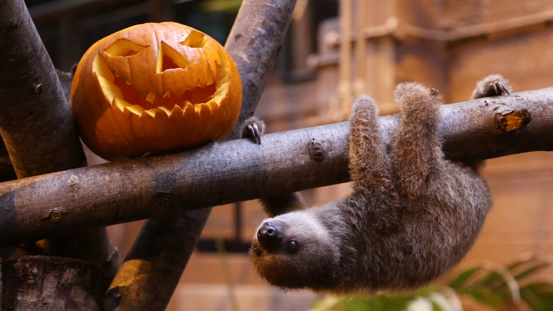 Edward the sloth is ready for his first Halloween