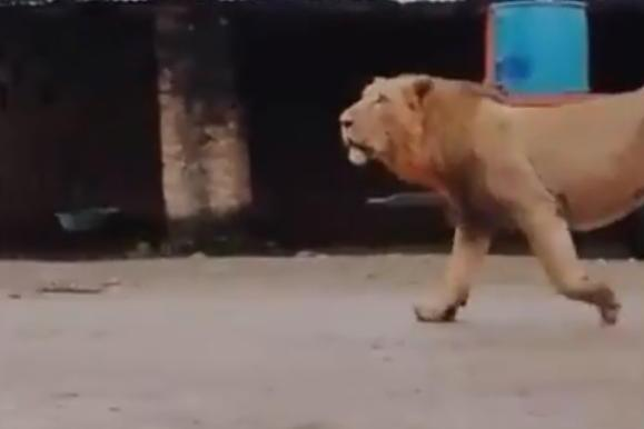 Watch: Fearless dog chases lion away from village