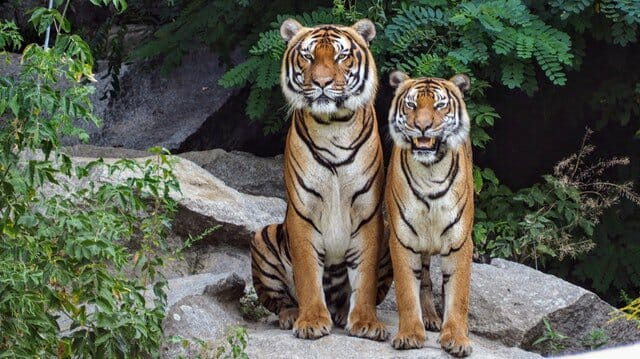 Nepal   s tiger population has doubled in nine years