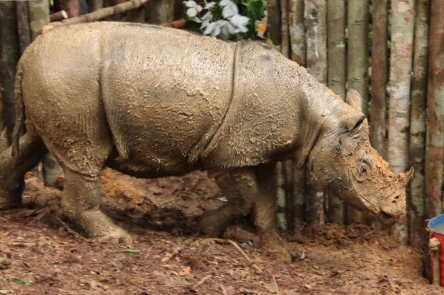 Critically Endangered Sumatran Rhino Seen In Indonesian Borneo For First Time In 40 Years