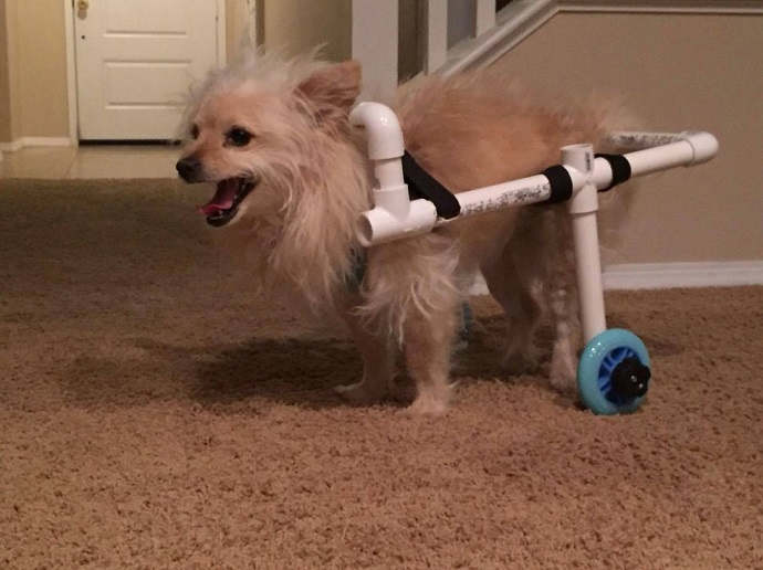 Man Creates Wheelchair For His Girlfriend   s Dog With Just $40