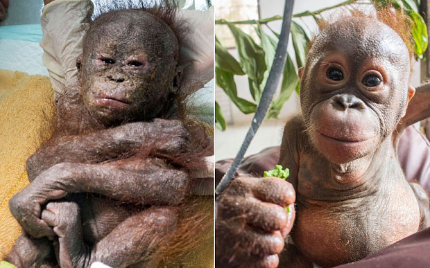 Baby orangutan left to die in the sun rescued by charity