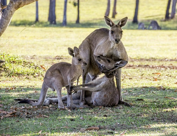 Photographer captures moment kangaroo cradles dying companion as joey looks on