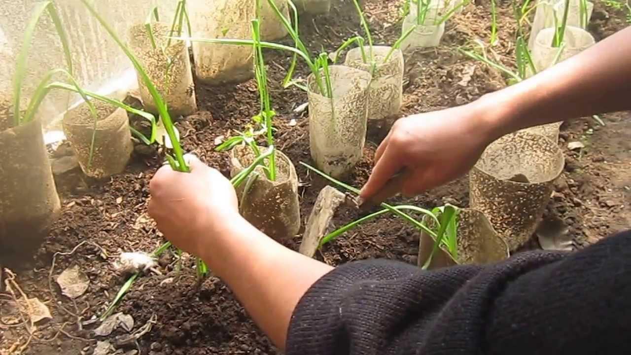 c mo plantar ajos y cebollas en casa muy f cil