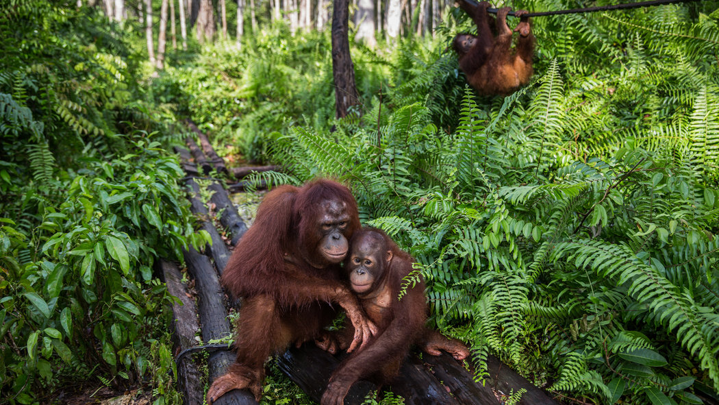 Indonesia   s Orangutans Suffer as Fires Rage and Businesses Grow