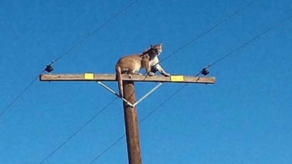 Mountain lion discovers power pole is amazing for people-watching
