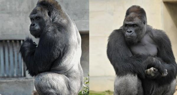 "Japanese women are falling hard for a ""handsome"" gorilla named shabani"