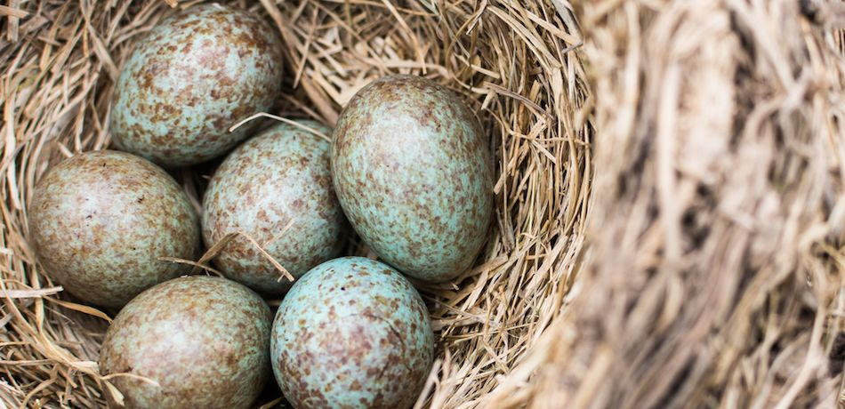 New study says that colored bird eggs come from dinosaurs