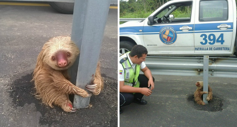 Ecuador Cops Save Tiny Terrified Sloth In Most Adorable Highway Rescue Ever
