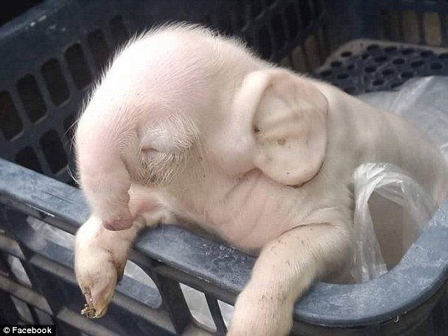 The piglet who looks like an Elephant